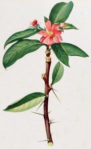 Britton_&_Rose_Vol_1_Plate_III_(Pereskia_grandifolia)